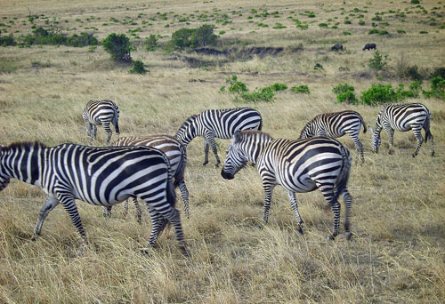 The Zebras, wearing their black and white chessboard costumes, return back home to the Nairobi national park after watching the action.